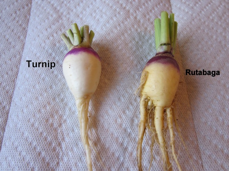 turnip-rutabaga