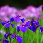 How to Grow Iris Flower