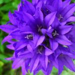 Balloon Flower: Decorate Home and Garden