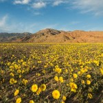 The Rare Instance of 20 Different Wildflowers Blooms in Death Valley