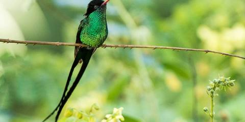The Red-billed Streamertail is most abundant and widespread member of the hummingbird family.