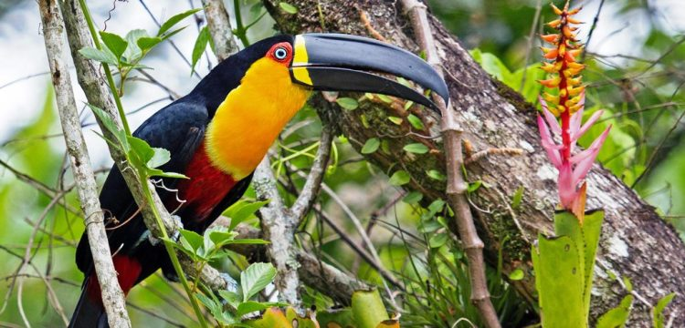 The captive toucans cannot learn to talk like parrots, but they are very much quieter and friendly and easy tamed.