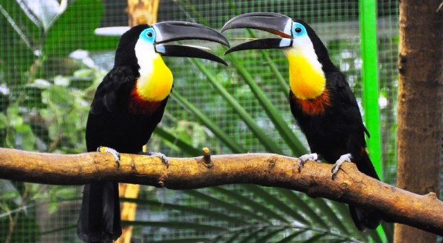 Image result for choco toucan bird facts