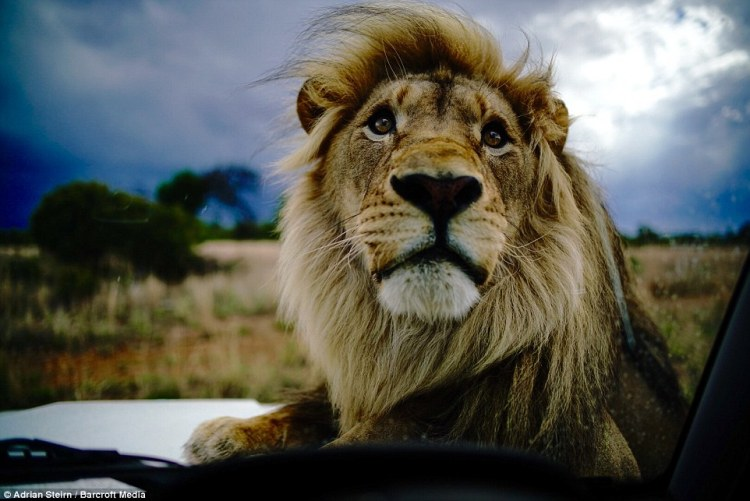 A lion is pictured lounging on top of a Mercedes during the photo shoot with wildlife photographer Adrian Steirn