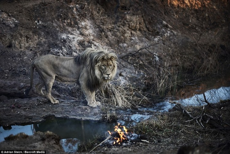 A lion looks broodingly on from a stream edge as a fire smoulders in the dry grass