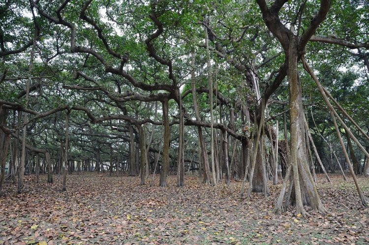 You can easily called The Great Banyan looks more like a forest than an individual tree.
