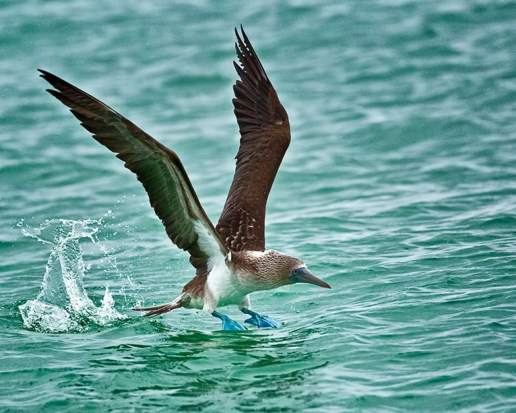 These seabirds are exceptional divers, fold their long wings back around their streamlined bodies and plunge into the water from as high as 24 meters