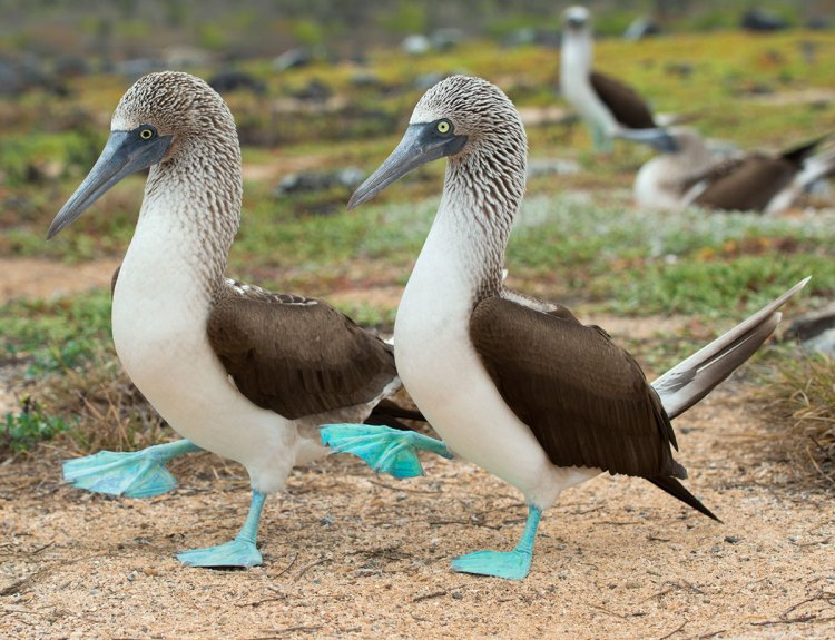 Blue-footed boobies take great pride due to their marvelous feet.
