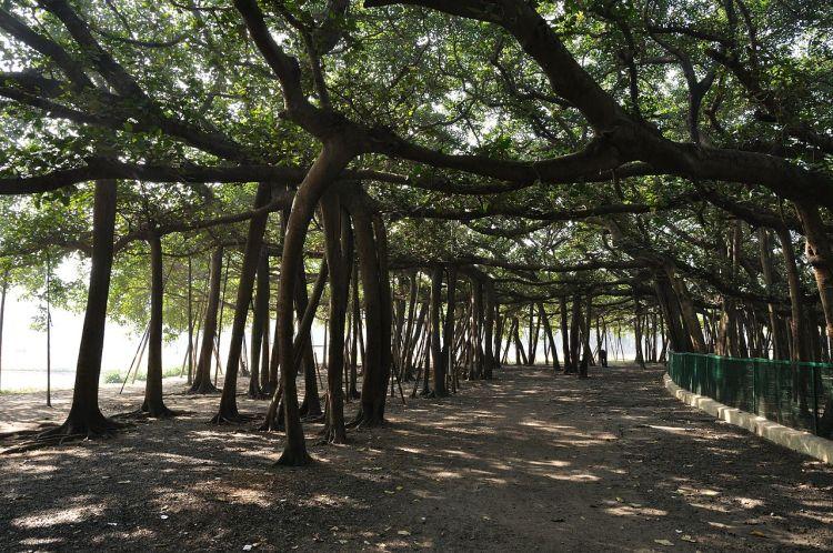 The Great Banyan tree at the botanical garden, Howrah India