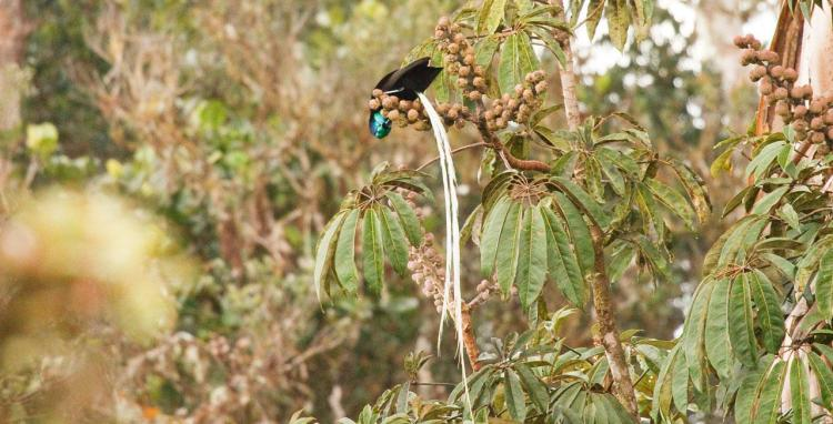 The Ribbon-Tailed-Astrapia diet consist of fruits, especially from the Umbrella Tree, and insects, spiders and frogs