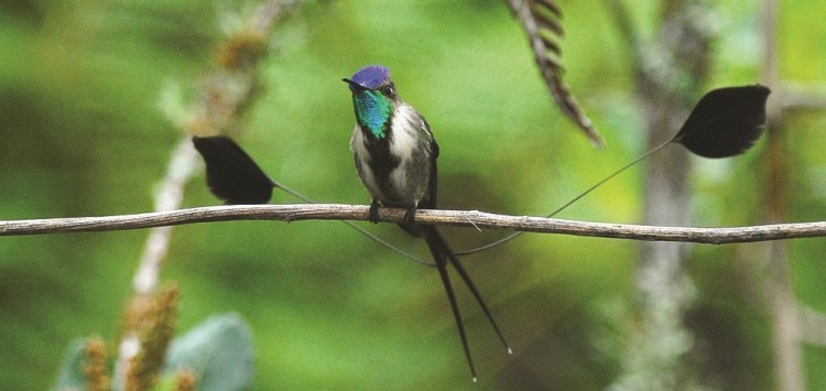 """The nature's most beautiful bird is The Marvellous Spatuletail """"Loddigesia Mirabilis"""" is just a 15cm long bird."""