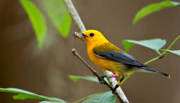 The Prothonotary warbler number is endangered in Canada, and their population is declining due to loss of habitat.