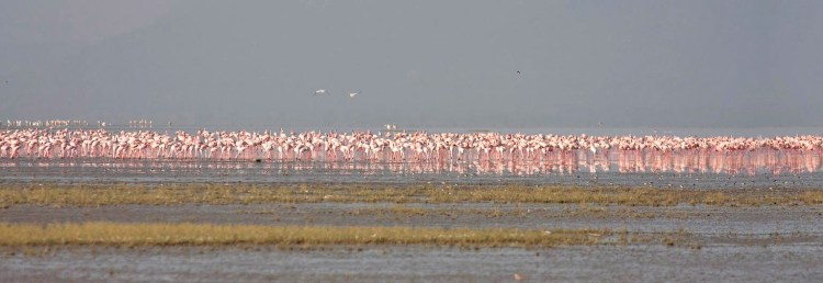 Three-quarters of the world population of lesser flamingos (Hoenicopterus minor) live in East Africa and use Lake Natron as their nesting site.