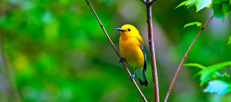 The prothonotary warbler is a small songbird just 13 cm long and weighs 12.5 g.