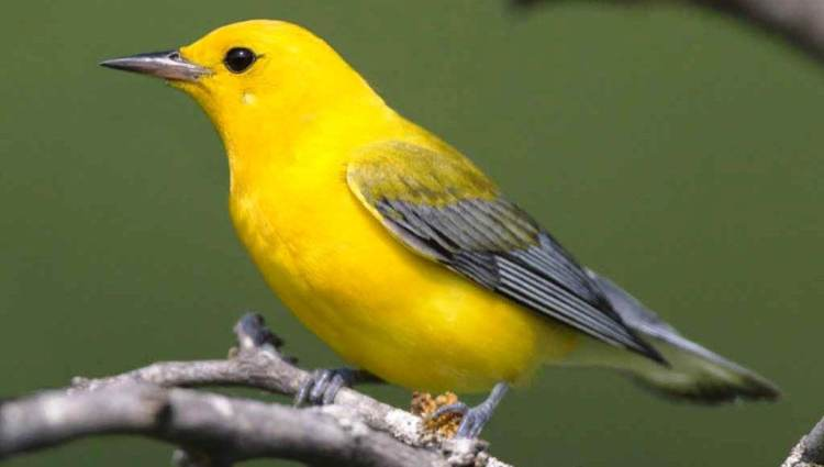 "The prothonotary warbler ""Protonotaria citrea"" belongs to warbler family, the only member of genus Protonotaria."