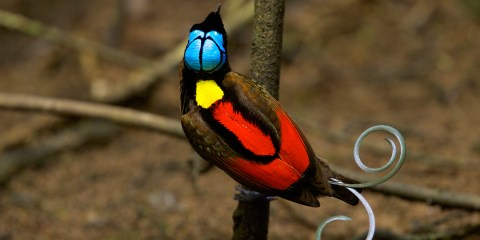 Wilson's bird-of-paradise is small, up to 21 cm long, can reach 6.3 inches in length and 1.8 to 2.2 ounces of weight.
