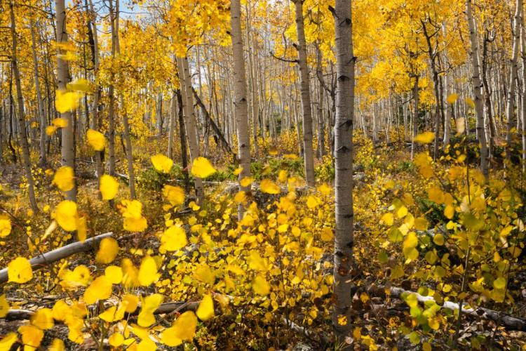 According to some ecologist, the future of Pando organisms is in danger due to mature stems is regularly dying from the eternal problems of pests, diseases, drought and regenerative roots of organism are under attacks.
