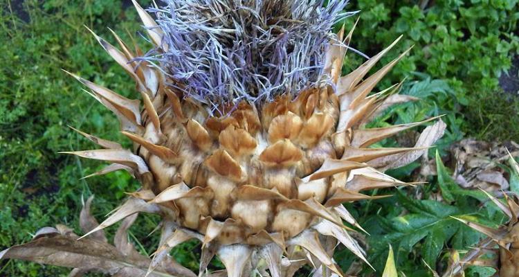 (Cynara cardunculus) flower.