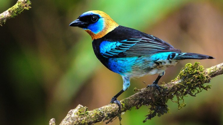 Golden-hooded Tanagers have been observed chasing one another for 15 to 30 min, though repeatedly reiterating ticking noises.