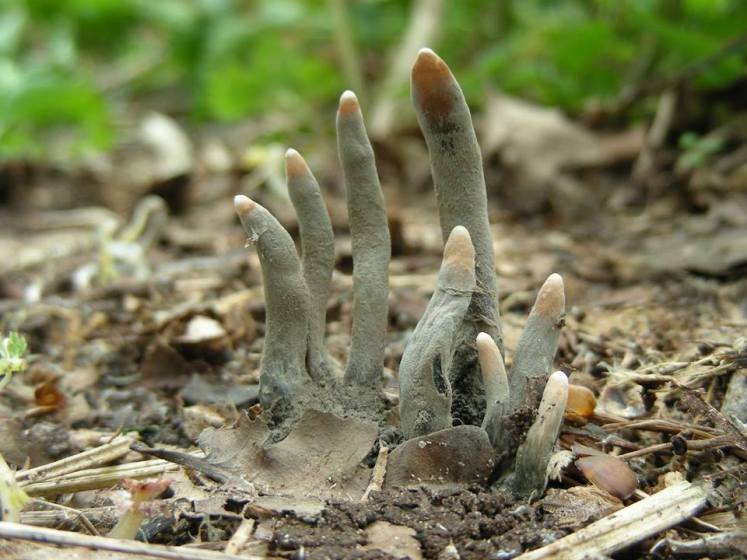 "Xylaria polymorpha, is generally known as ""dead man's fingers"", is a saprobic fungus."
