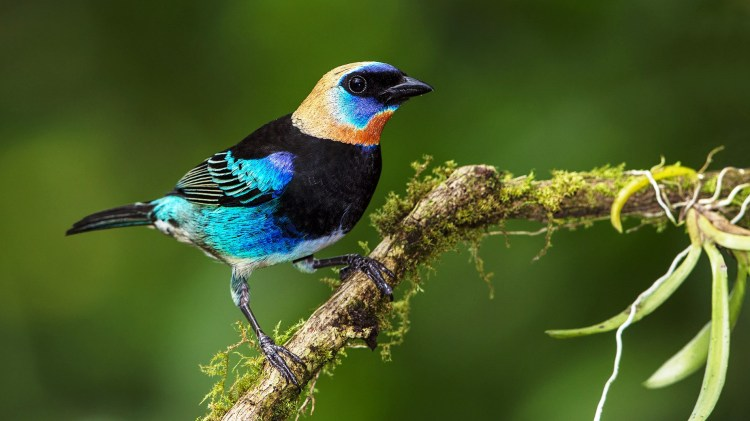 Golden-hooded Tanager Habitually two broods are raised in a season, but three have been documented.