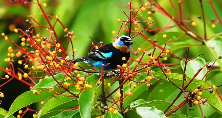 The Golden-Hooded Tanager also called Tangara Larvata is a medium sized passerine bird, is a resident breeder from Southern Mexico South to Western Eucador.