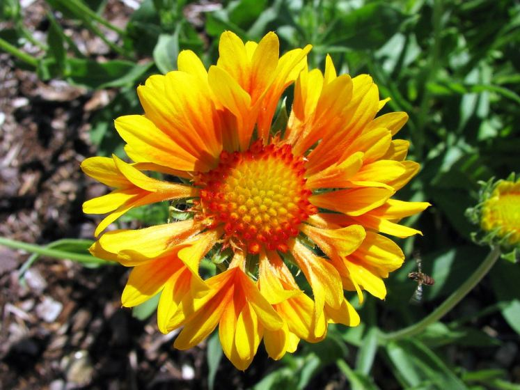 Blanket flowers have insect or disease problems and look out for aphids and leafhoppers that can banquet a virus-like disease called aster yellows.