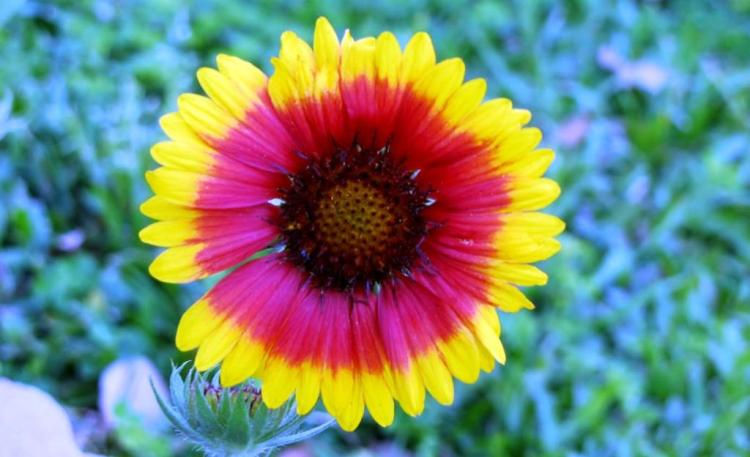 Blanket flowers are usually short-lived; cutting back clumps to 6 inches in late summer often increases their chances of winter survival.