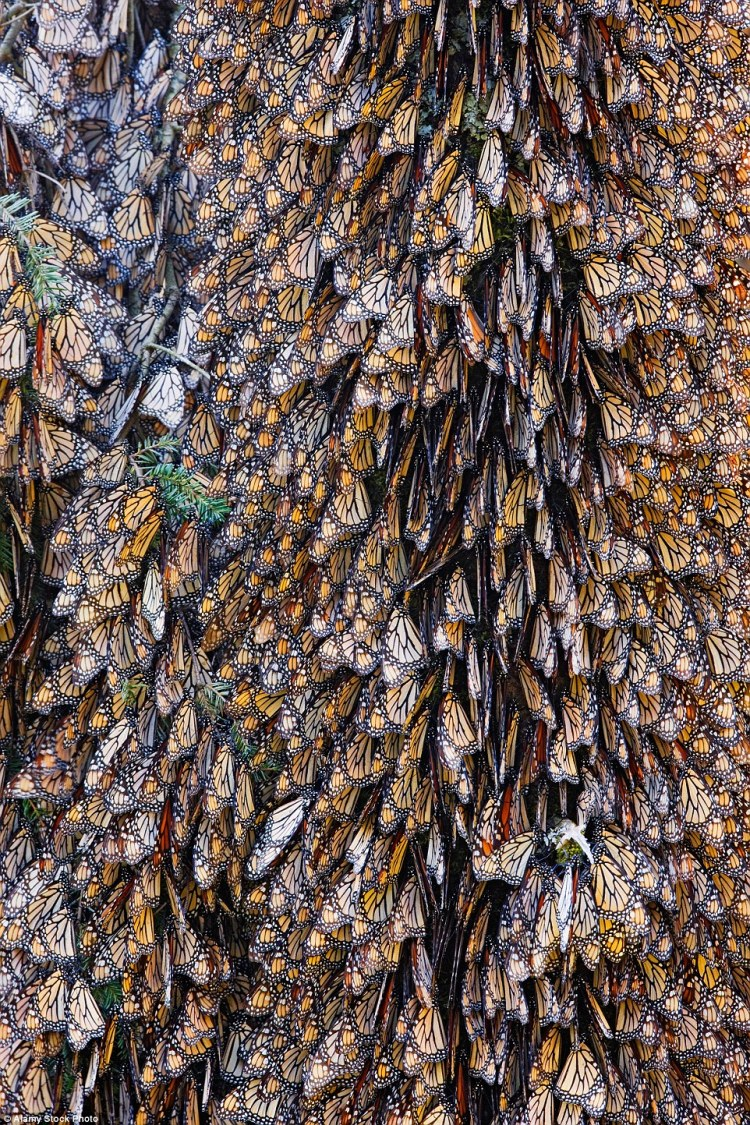 Butterflies rest on a pine tree in Mexico. The forest canopy acts as a blanket against the cold for butterflies forming huge clumps on branches during their winter stay