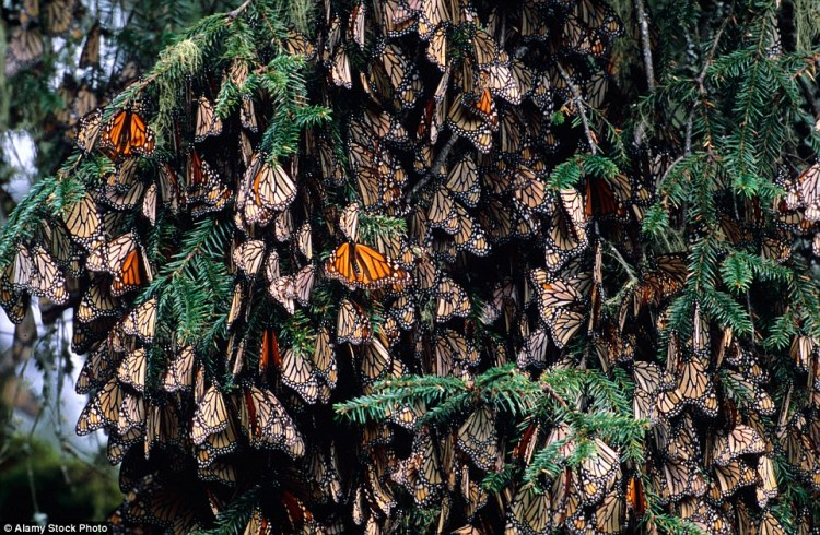 In Mexico,illegal logging has remained a problem. It more than tripled in the monarch butterflies' wintering grounds in 2014, reversing several years of steady improvement in the insects' numbers
