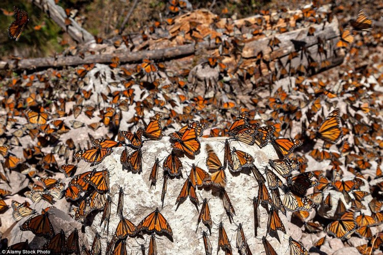 Monarch Butterflies mass along a dry stream bed in the Sierra Pellon mountain at the Monarch Butterfly Biosphere Reserve in Sierra Pellon, Michoacan State