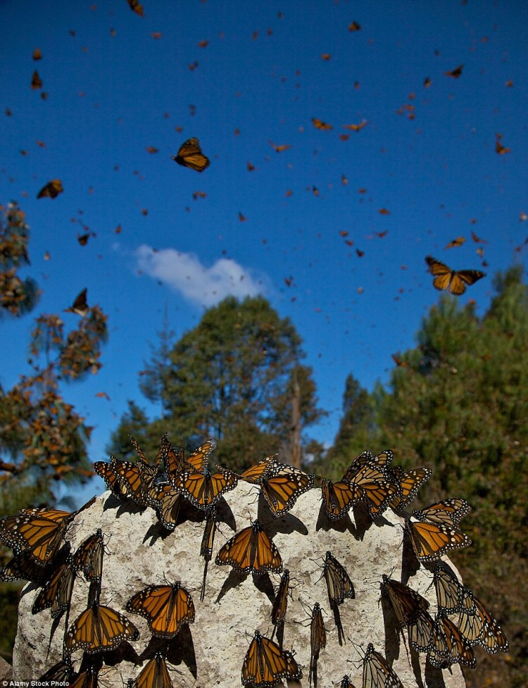 Monarch Butterflies mass along the path in the Sierra Pellon mountain at the Monarch Butterfly Biosphere Reserve