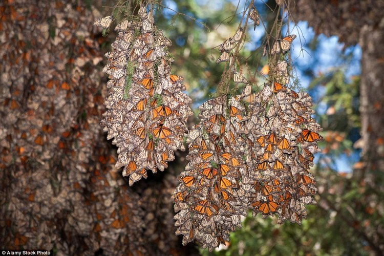 Three bunches of monarch butterflies (Danaus plexippus) hang from tree branches at the Monarch Butterfly Sanctuary in Mexico