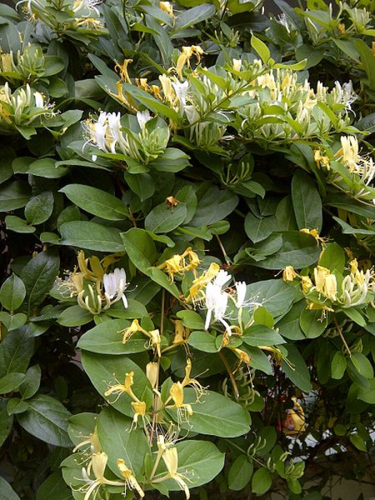 Honeysuckles are arching shrubs or twining bines in the family Caprifoliaceae, native to the Northern Hemisphere.