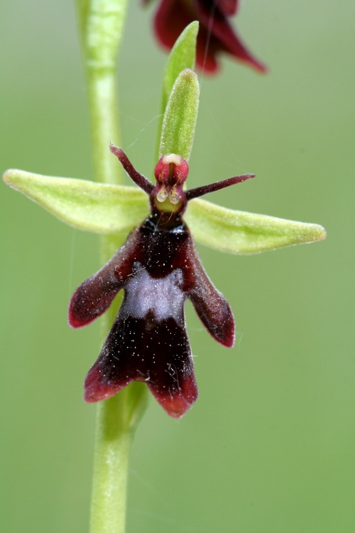The Fly Orchid (Ophrys insectifera) is such a deceptive looking flower that male insects are attracted to its appearance, coupled with its sweet scent.