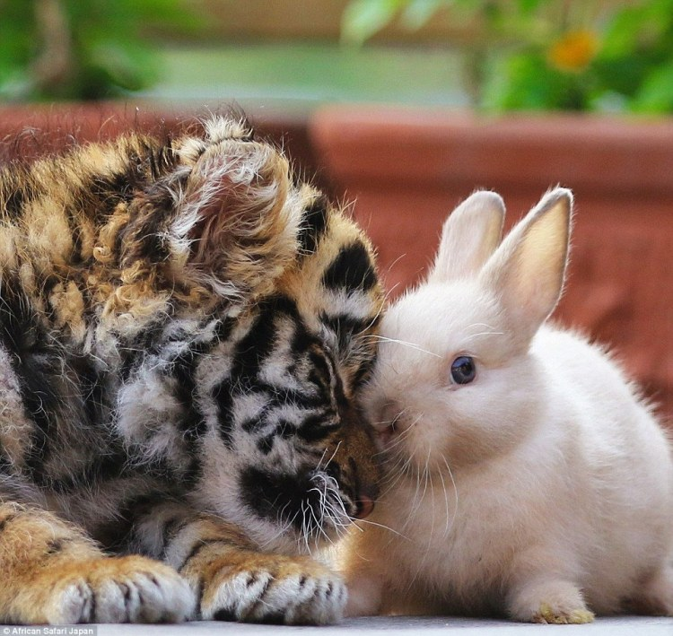 the-revealing-images-show-how-the-animals-have-yet-to-gain-their-animal-instincts-above-the-tiger-cub-snuggles-up-to-a-bunny-at-the-zoo