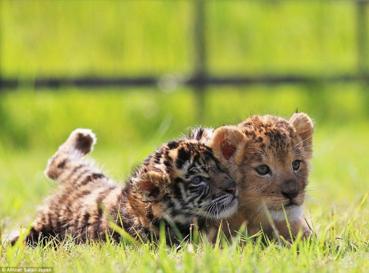there-are-currently-several-sets-of-tiger-and-lion-cubs-at-the-park-but-this-pair-have-struck-up-an-unlikely-friendship