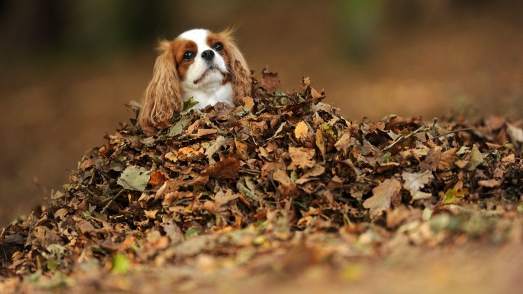 A king charles cavalier spaniel dog amongst a pile of autumn leaves at the Wenallt in Cardiff, South Wales.