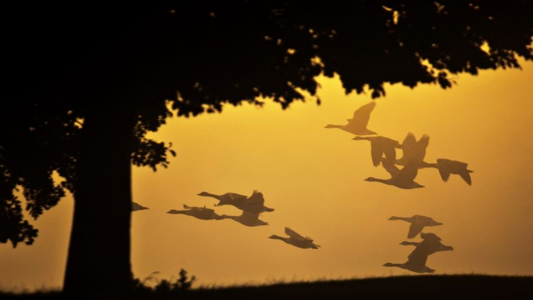 Silhouetted Canada geese, Branta canadensis, in flight.