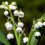 The Sweetly Scented Lily of the Valley (Convallaria Majalis)