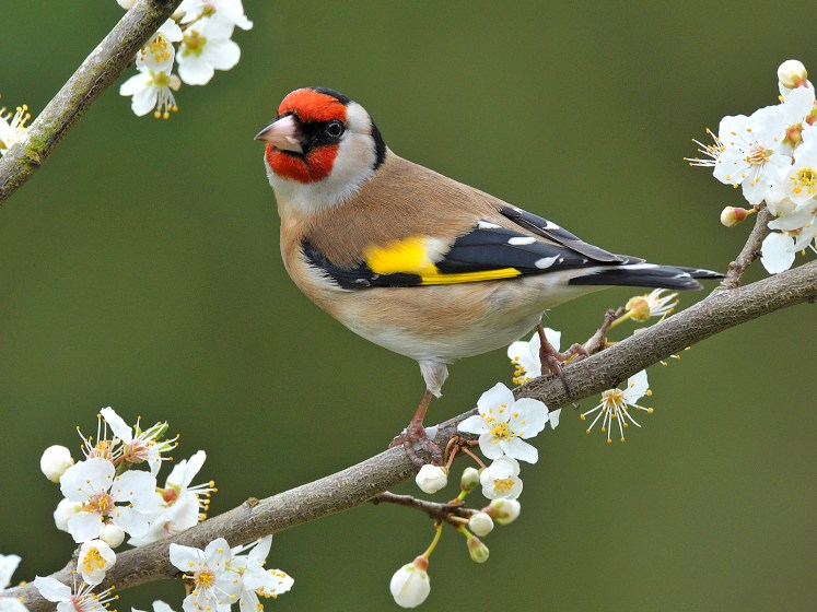 Goldfinches will display to each other during spring by singing and swaying their wings from side to side.
