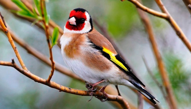 The European Goldfinch is a small passerine bird in the finch family that is native to Europe, North Africa and western Asia and has been introduced to other areas including Australia, New Zealand and Uruguay.