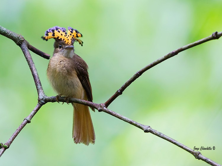. This bird is endemic to Atlantic forest in south-eastern Brazil, confined to the dwindling forests of south-east Brazil, in the states of Minas Gerais, Rio de Janeiro, São Paulo and Paraná.