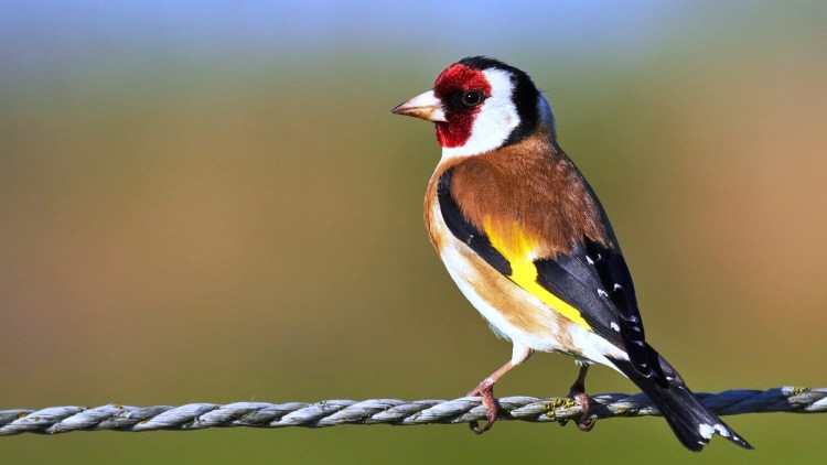 The both sexes are broadly akin, however the goldfinch has a red face and a black-and-white head and back and flanks are buff or chestnut brown.