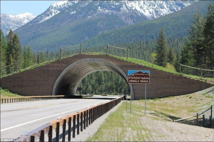 Animals' Bridge lies on the Flathead Indian Reservation in Montana, and was designed to be used by bears, deer, elk, mountain lions, and others