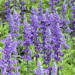 A Long Lasting Blue Flower Salvia (Sage)