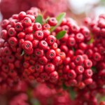 Pyracantha, An Evergreen Plant Provides Seasonal Interest and Berries