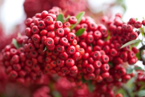 "Birds love the berries of the ""Pyracantha"" and take shelter from wintry blasts all through the long cold season and spring bloom is just the icing on the cake."
