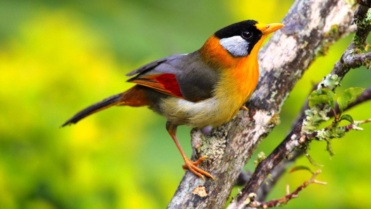 The silver-eared Mesia is a seasonal breeder, lasting from Nov to Aug. Both male and female are participate in building the nest, takes about 4 days to build and is placed near ground level or up to 2m up in a bush.