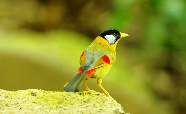 Nevertheless the Silver-eared Mesia is the icon for the Frasers Hills. Like the residents in all other countries of Western China, Indochina and Sumatra.